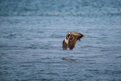 Black Kite Milvus migrans. A Black Kite Milvus migrans bird flying away with a large squid it just caught from the sea Royalty Free Stock Photo