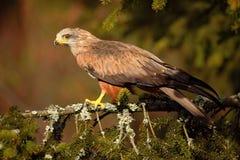 Black Kite, Milvus migrans, brown bird of prey sitting larch tree branch, animal in the habitat. Slovakia Stock Photo