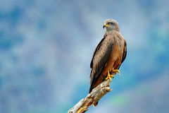 Black Kite, Milvus migrans, brown bird of prey sitting larch tree branch, animal in the habitat. Wildlife scene from nature. Black Kite, Milvus migrans, brown Royalty Free Stock Images