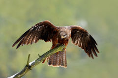 Black Kite, Milvus migrans, brown bird sitting larch tree branch with open wing. Animal in the nature habitat. Black Kite in the f Royalty Free Stock Image