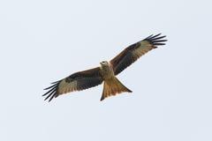 Black Kite (Milvus Migrans) in flight Stock Image