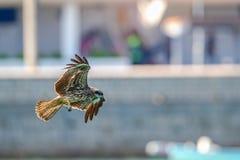 Black Kite Milvus migrans in flight Royalty Free Stock Photography