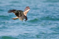 Black Kite Milvus migrans in flight Stock Photography