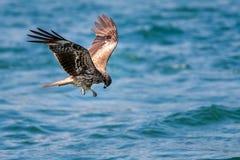 Black Kite Milvus migrans in flight Royalty Free Stock Images