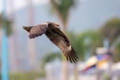 Black Kite  (Milvus migrans)  flying Stock Image