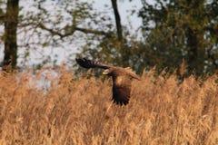 Black Kite Milvus migrans flying Stock Images
