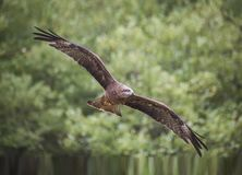 Black Kite Milvus migrans royalty free stock photo