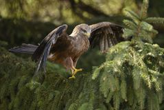 Black Kite - Milvus migrans stock photography