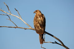 Black Kite. (Milvus migrans) near Tom Price in the Pilbara region of WA Stock Photography