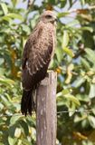 Black kite perched on a fence post Royalty Free Stock Photo