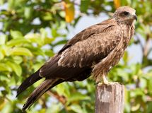 Black kite perched on a fence post Stock Images