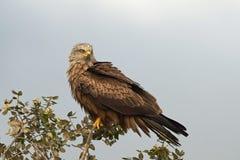 Black kite Milvus migrans Stock Images
