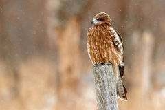 Black kite, Milvus migrans, sitting on the branch with snow winter. First snow with bird. Grassy meadow with hawk. Wildlife scene Royalty Free Stock Photo