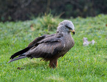 Black kite (Milvus migrans). Black kite standing in grass looking fiercely ahead Royalty Free Stock Photography
