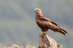 Black Kite Milvus migrans. On tree Royalty Free Stock Photography
