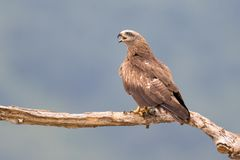 Black Kite Milvus migrans Stock Photography