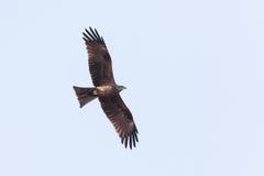 Black Kite (Milvus migrans) Royalty Free Stock Photo