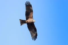 Black Kite (Milvus migrans). Wild bird in a natural habitat. Moscow region, Russia Stock Photography