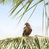 Black kite (Mulvus Migrant) smoothing its feathers at dawn, Dakar, Senegal Royalty Free Stock Photography