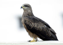 Black kite. On my apartment terrace Stock Image