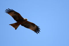 Black Kite - Ngorongoro Crater, Tanzania, Africa Royalty Free Stock Image
