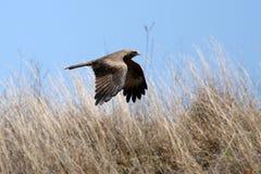 Black Kite - Ngorongoro Crater, Tanzania, Africa Stock Image