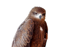 Black kite Pariah kite Milvus migrans Stock Images