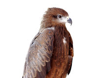Black kite Pariah kite Milvus migrans. Bird of Thailand Stock Photos