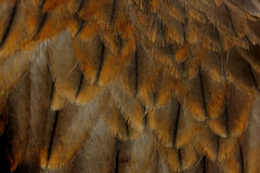 Black kite Pariah kite Milvus migrans Stock Image