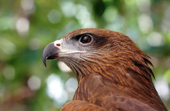 Black kite Pariah kite Milvus migrans Stock Photo