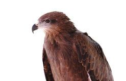Black kite Pariah kite Milvus migrans Royalty Free Stock Photography