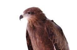 Black kite Pariah kite Milvus migrans. At thailand Royalty Free Stock Photography