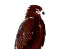 Black kite Pariah kite Milvus migrans  white background Royalty Free Stock Photography