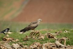 Black kite perched Royalty Free Stock Photos