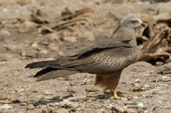 Black kite perched Stock Photo