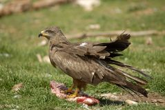 Black kite perched Stock Images