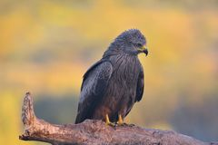 Black kite perched on a branch. Royalty Free Stock Photos