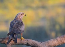 Black kite perched on a branch. Royalty Free Stock Photo