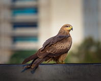 Black Kite perched on a skyline in Bangalore India. Stock Images