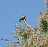 Black kite perched in tree Stock Image