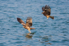 Black Kite picking up food from sea. Two Black Kite picking up food from sea Royalty Free Stock Photo