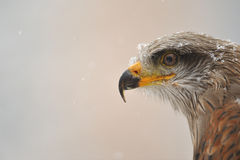 black Kite portrait Stock Photo