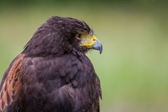 Profile of a Black Kite royalty free stock image