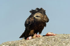 Black kite on a rock Royalty Free Stock Photos