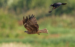 Black Kite and the Rook Royalty Free Stock Photography