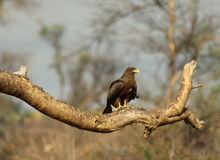 Black Kite Royalty Free Stock Image