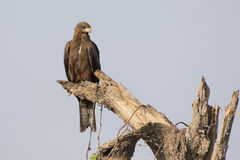 Black kite that sits on a dry trunk of a tree in the African sav Stock Images
