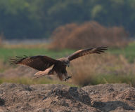 Black Kite Royalty Free Stock Photo