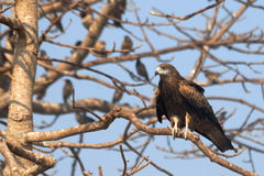 Black Kite on the tree with Rosy Starlings in Goa, India Royalty Free Stock Photos