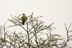 Black kite in tree, Uganda Royalty Free Stock Photos